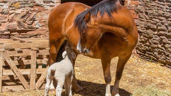 Ngựa nuôi 3 con cừu mồ côi - Ảnh 3.