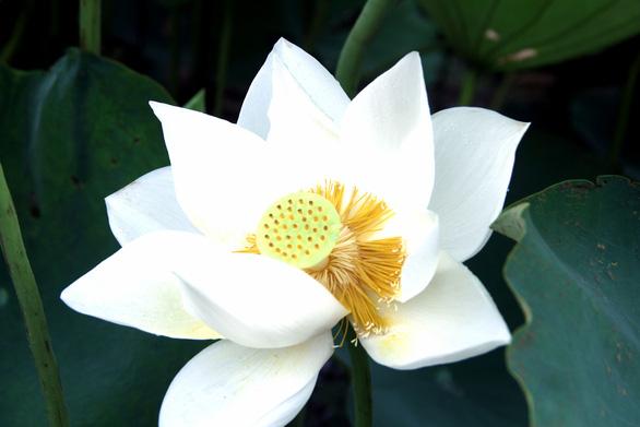 Ngây ngất với đầm sen trắng xứ Huế ở Hà thành - Ảnh 2.