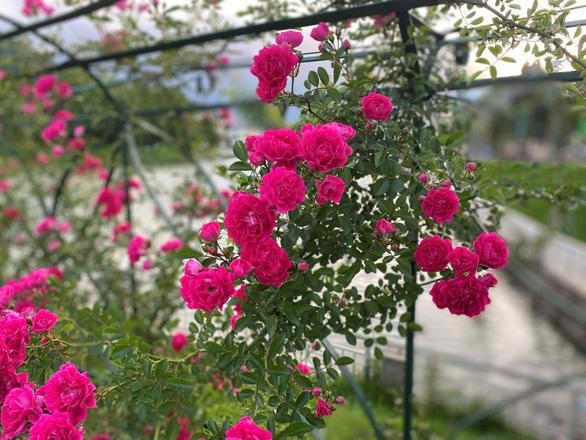 Sa Pa nhận kỷ lục thung lũng hoa hồng lớn nhất Việt Nam - Ảnh 3.