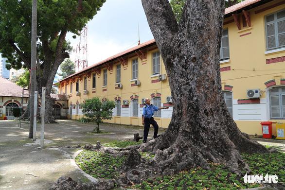 Cây đổ lộ ra thêm chuyện quản lý cây xanh trong trường học - Ảnh 2.