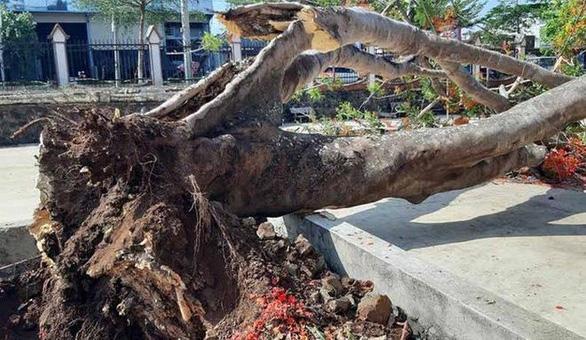 Đắk Lắk: một cây phượng vĩ lớn bật gốc trong sân trường - Ảnh 1.