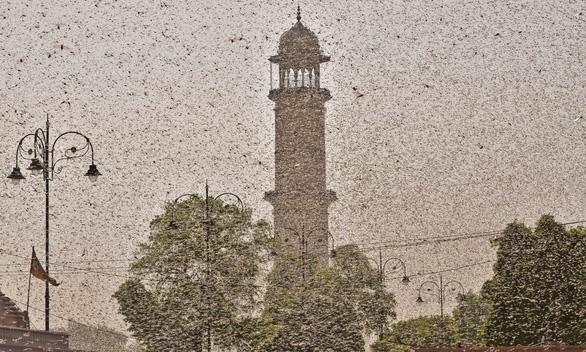Cơn bão châu chấu kinh hoàng mù trời giữa ban ngày ở Ấn Độ - Ảnh 1.