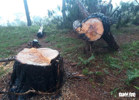 Rừng thông cổ thụ bị đốn hạ trong khu danh thắng Lang Biang - Ảnh 1.