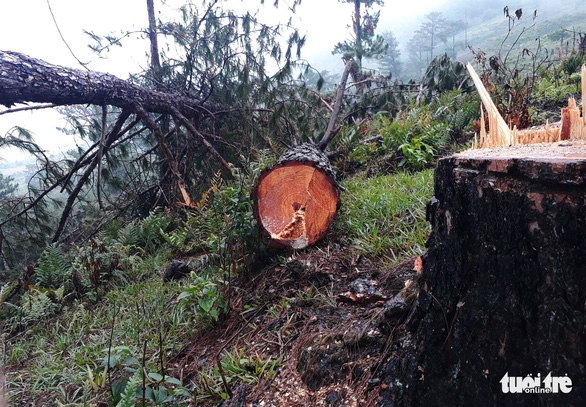 Rừng thông cổ thụ bị đốn hạ trong khu danh thắng Lang Biang - Ảnh 2.
