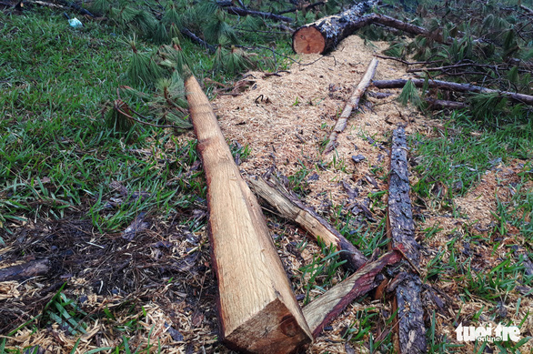 Rừng thông cổ thụ bị đốn hạ trong khu danh thắng Lang Biang - Ảnh 3.