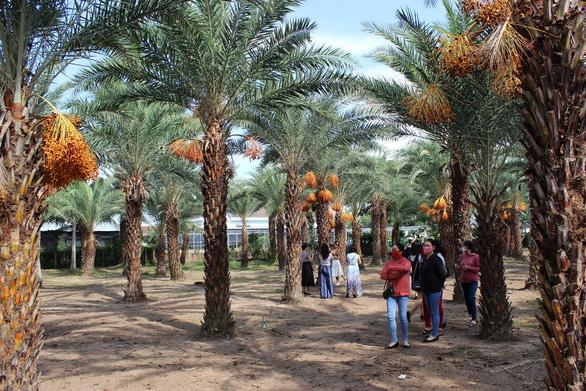 Check-in vườn chà là rực rỡ độc đáo ở miền Tây - Ảnh 2.