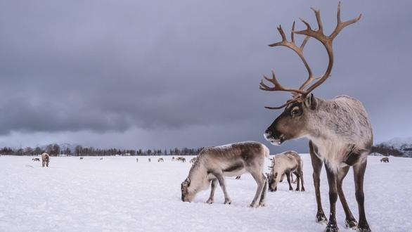 Nghiên cứu lạ: Đưa ngựa, tuần lộc lên Bắc Cực ngăn băng tan - Ảnh 1.