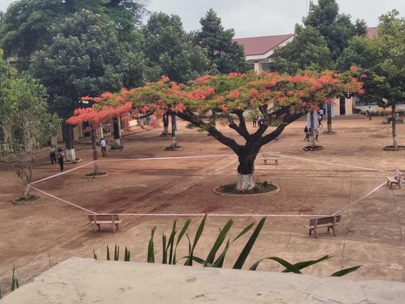 Hiệu trưởng nói gì khi cách ly cây phượng giữa sân trường? - Ảnh 1.
