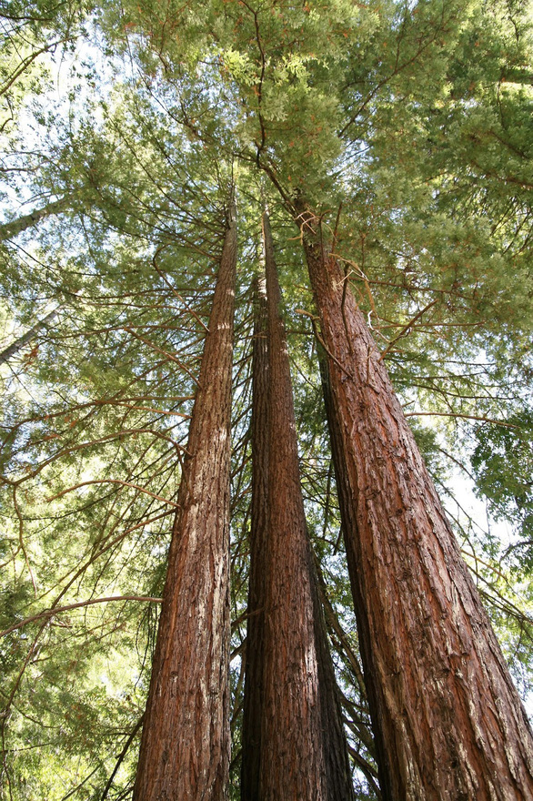 Thế giới mất hơn 30% cây cổ thụ - Ảnh 2.
