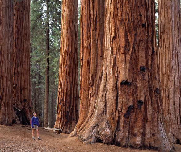 Thế giới mất hơn 30% cây cổ thụ - Ảnh 1.