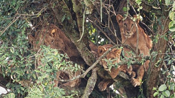 Cảnh tượng hiếm: bầy sư tử kéo nhau ngủ trên cây gai độc - Ảnh 2.