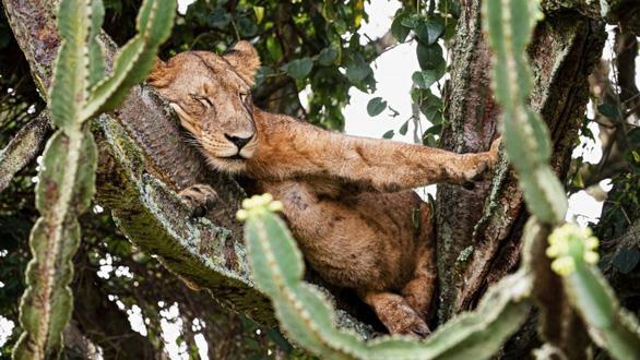 Cảnh tượng hiếm: bầy sư tử kéo nhau ngủ trên cây gai độc - Ảnh 1.