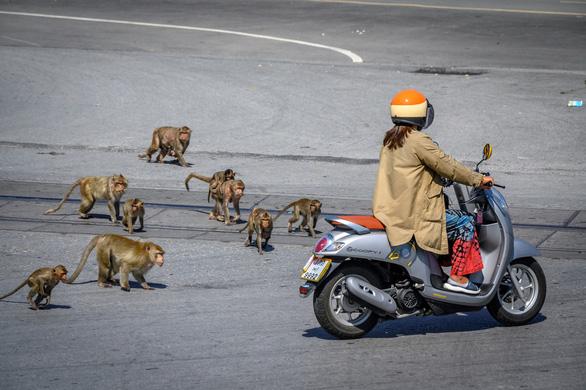 Khỉ hoang quậy vì thiếu thức ăn từ du khách, Thái Lan muốn triệt sản 500 con - Ảnh 2.
