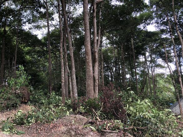 Tỉnh ủy Bà Rịa - Vũng Tàu: Côn Đảo không được phép chặt bất cứ cây dầu nào - Ảnh 2.