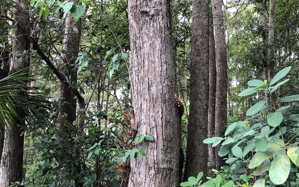 Tỉnh ủy Bà Rịa - Vũng Tàu: Côn Đảo không được phép chặt bất cứ cây dầu nào - Ảnh 1.
