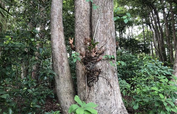 Vụ phá rừng dầu ở Côn Đảo: Đất công làm du lịch,  đất rừng làm... tái định cư - Ảnh 1.