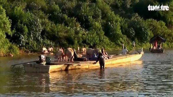 Heo lậu đi thuyền vượt biên qua sông vào Quảng Trị - Ảnh 1.