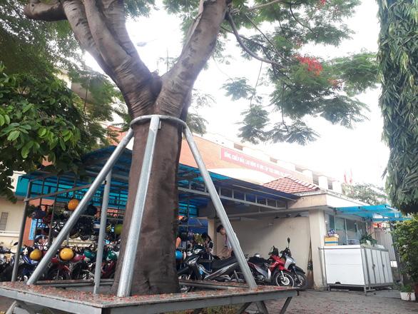 Cây phượng mục mang chân kiềng ở Trường THCS Lê Văn Tám - Ảnh 3.