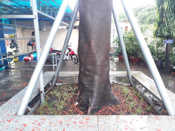Cây phượng mục mang chân kiềng ở Trường THCS Lê Văn Tám - Ảnh 2.