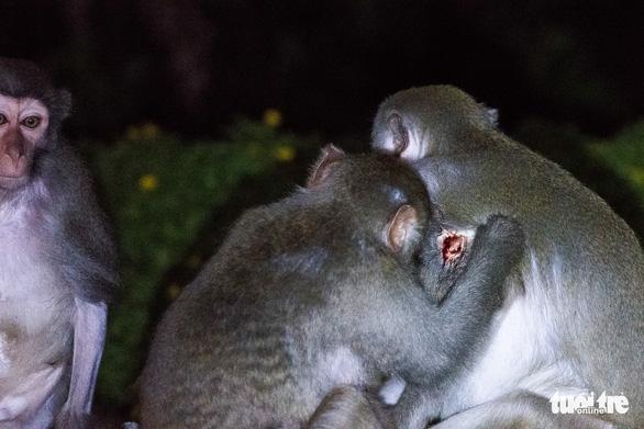 Khuyến cáo du khách không cho khỉ ăn ở bán đảo Sơn Trà - Ảnh 1.