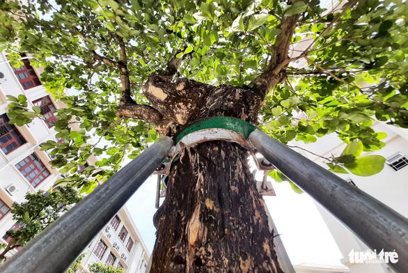 Mặc áo giáp' cho cây xanh trong trường học - Ảnh 1.
