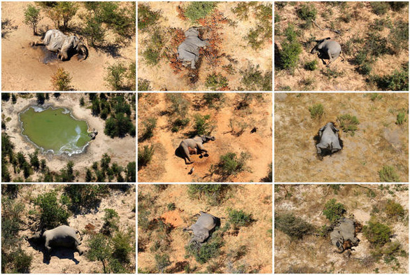 350 con voi chết bí ẩn ở nhiều tư thế - Tại sao? - Ảnh 2.