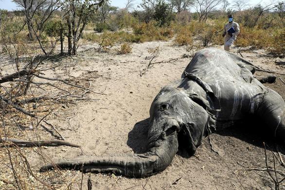 350 con voi chết bí ẩn ở nhiều tư thế - Tại sao? - Ảnh 1.