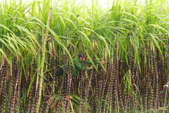 Thăm làng quê Bao La, ngắm cây ngô đồng cô đơn trong Mắt biếc - Ảnh 3.