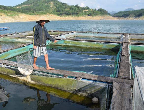 Nước lòng hồ thủy điện Sông Tranh 2 nóng lên, cá, ếch nuôi bè đều phơi bụng - Ảnh 2.