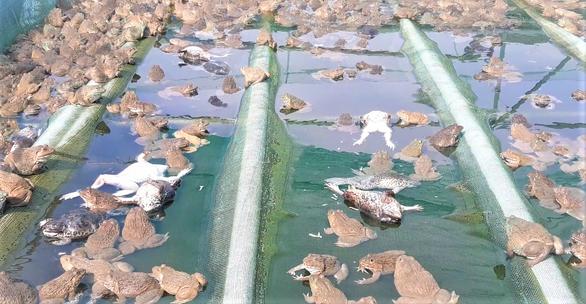 Nước lòng hồ thủy điện Sông Tranh 2 nóng lên, cá, ếch nuôi bè đều phơi bụng - Ảnh 4.