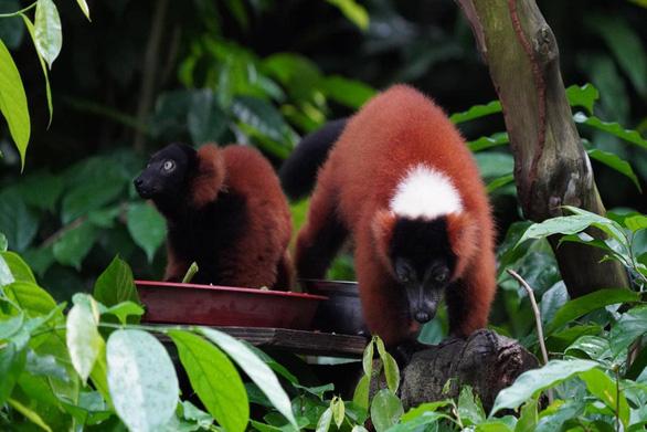 Ca song sinh vượn cáo lông đỏ cổ khoang quý hiếm tại Singapore - Ảnh 1.
