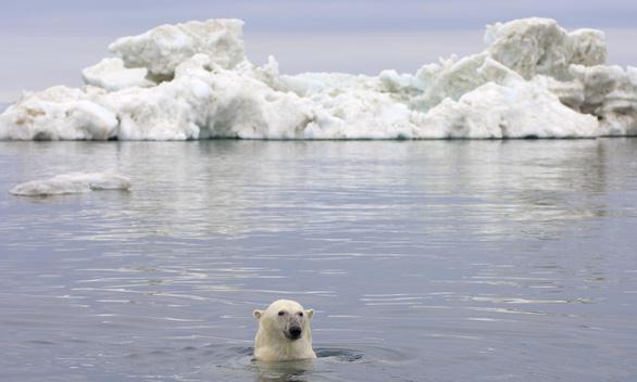 Gấu Bắc Cực sắp biến mất vĩnh viễn khỏi Trái đất - Ảnh 1.