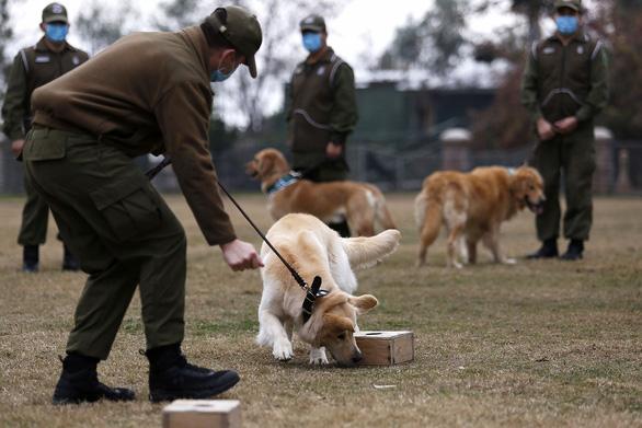 Chó phát hiện được người nhiễm COVID-19 - Ảnh 1.