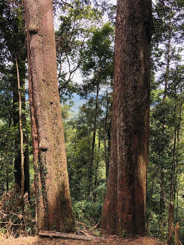 Ngắm thần mộc sa mu ngàn năm tuổi trong rừng nguyên sinh - Ảnh 5.
