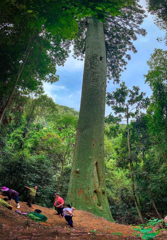 Ngắm thần mộc sa mu ngàn năm tuổi trong rừng nguyên sinh - Ảnh 1.