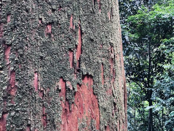 Ngắm thần mộc sa mu ngàn năm tuổi trong rừng nguyên sinh - Ảnh 4.