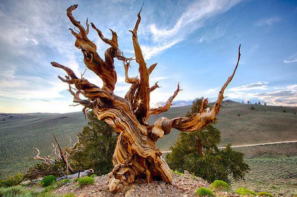 Nhiều cây sống ngàn năm, liệu có cây nào bất tử? - Ảnh 1.