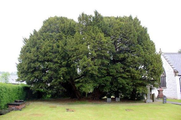Nhiều cây sống ngàn năm, liệu có cây nào bất tử? - Ảnh 2.