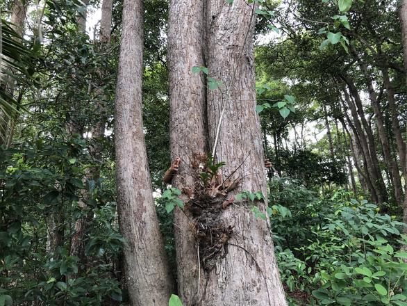 Thủ tướng yêu cầu chủ tịch tỉnh báo cáo vụ chuẩn bị phá rừng dầu Côn Đảo - Ảnh 3.