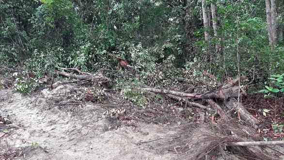 Thủ tướng yêu cầu chủ tịch tỉnh báo cáo vụ chuẩn bị phá rừng dầu Côn Đảo - Ảnh 2.