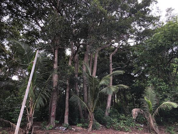 Thủ tướng yêu cầu chủ tịch tỉnh báo cáo vụ chuẩn bị phá rừng dầu Côn Đảo - Ảnh 1.
