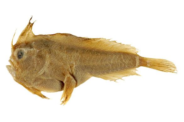 Loài cá biển đầu tiên tuyệt chủng trong thời hiện đại - Ảnh 1.