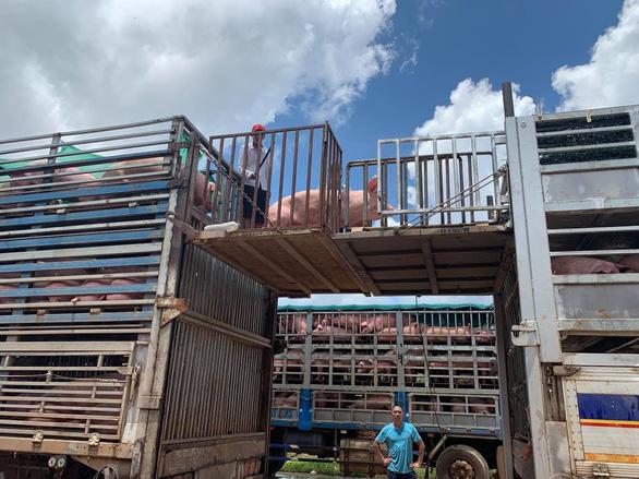 Thêm 1.000 con heo thịt từ Thái sang Việt Nam - Ảnh 2.