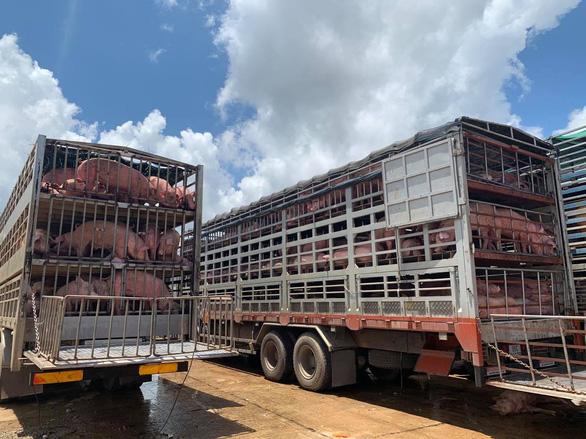Thêm 1.000 con heo thịt từ Thái sang Việt Nam - Ảnh 1.