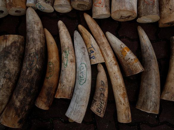 Singapore tiêu hủy 9 tấn ngà voi bằng nghiền nát và thiêu rụi - Ảnh 1.