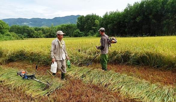 Xúc động cảnh hàng xóm chung tay gặt lúa giúp gia đình bị cách ly tập trung - Ảnh 1.