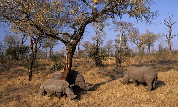 Hàng trăm tê giác được cứu khỏi bọn săn trộm nhờ các biện pháp phong tỏa - Ảnh 1.