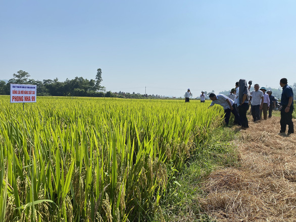Quảng Bình lai tạo được giống lúa Phong Nha 99 ngon, năng suất cao - Ảnh 1.