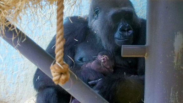Ảnh xúc động mẹ con khỉ đột nhỏ tuổi nhất thế giới - Ảnh 2.