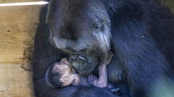 Ảnh xúc động mẹ con khỉ đột nhỏ tuổi nhất thế giới - Ảnh 3.